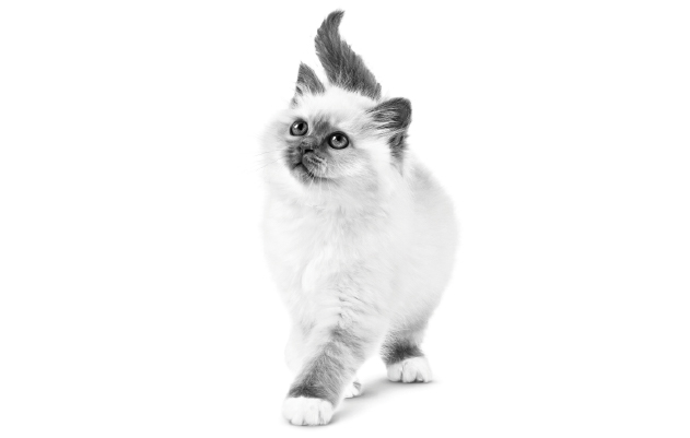 Royal Canin kitten Food Online South Africa